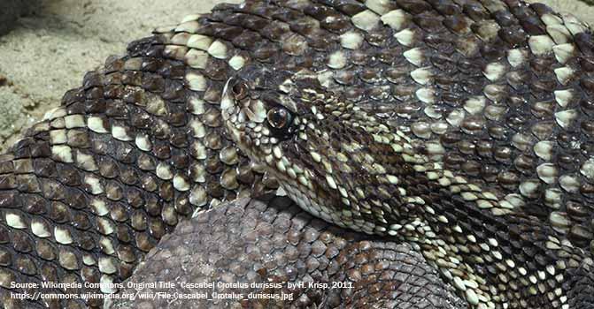 snake cascabel tropical