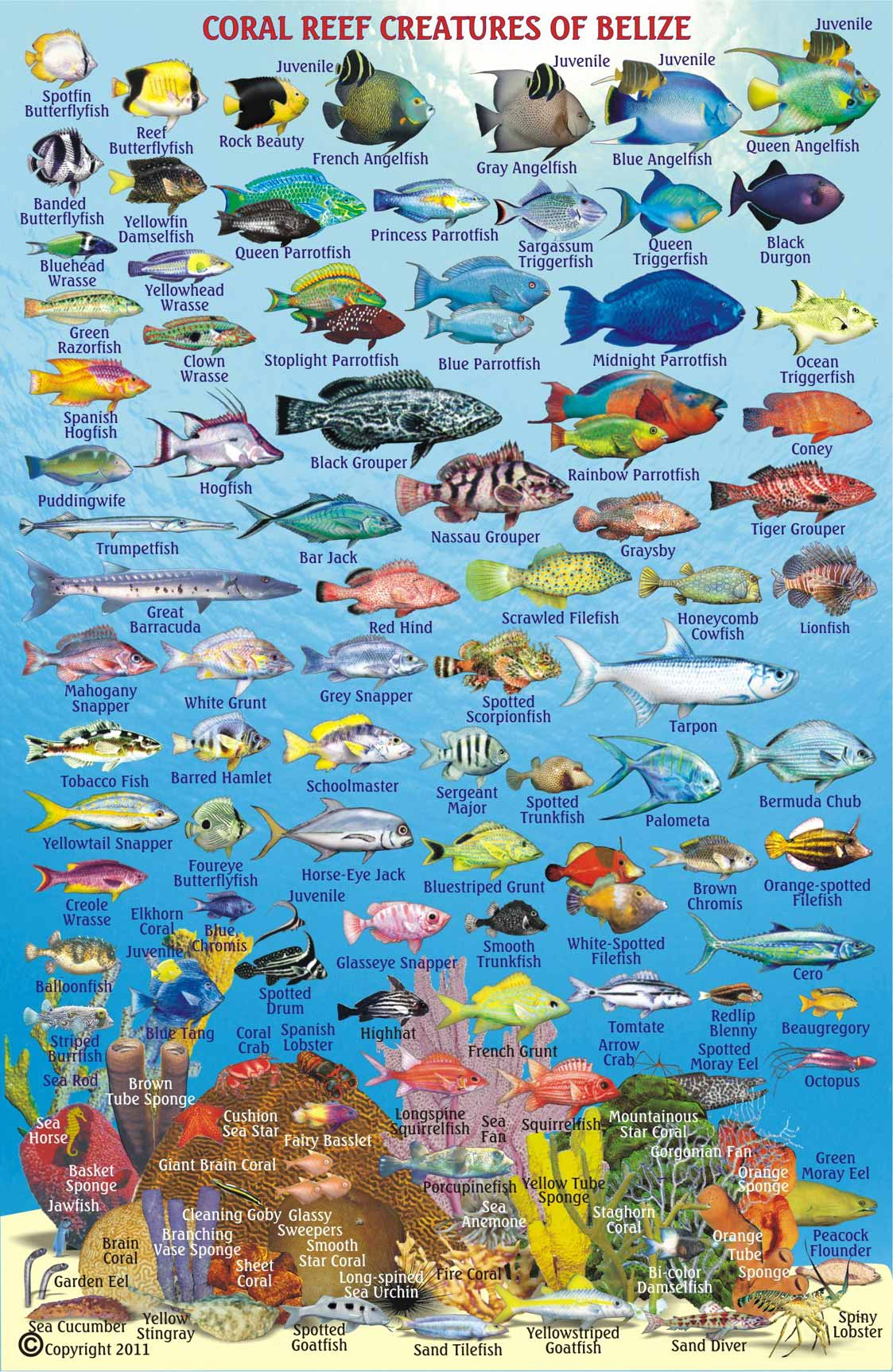 Belize animals caribbean critters for Fish species hawaii