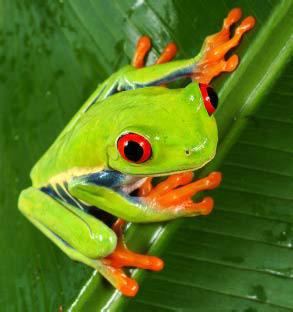 Red Eyed Tree Frogs, Belize Animals, Caribbean Critters