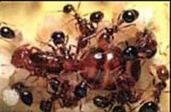 What are Flying Ants with pictures  wisegeekcom