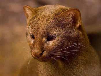Jaguarundi Belize Animals Caribbean Critters