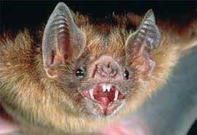 The Vampire Bat, Belize Animals, Caribbean Critters