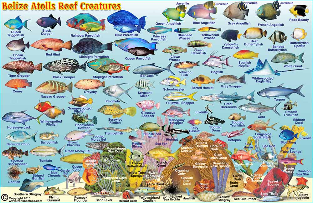 Travel edition reef fish identification caribbean bahamas.