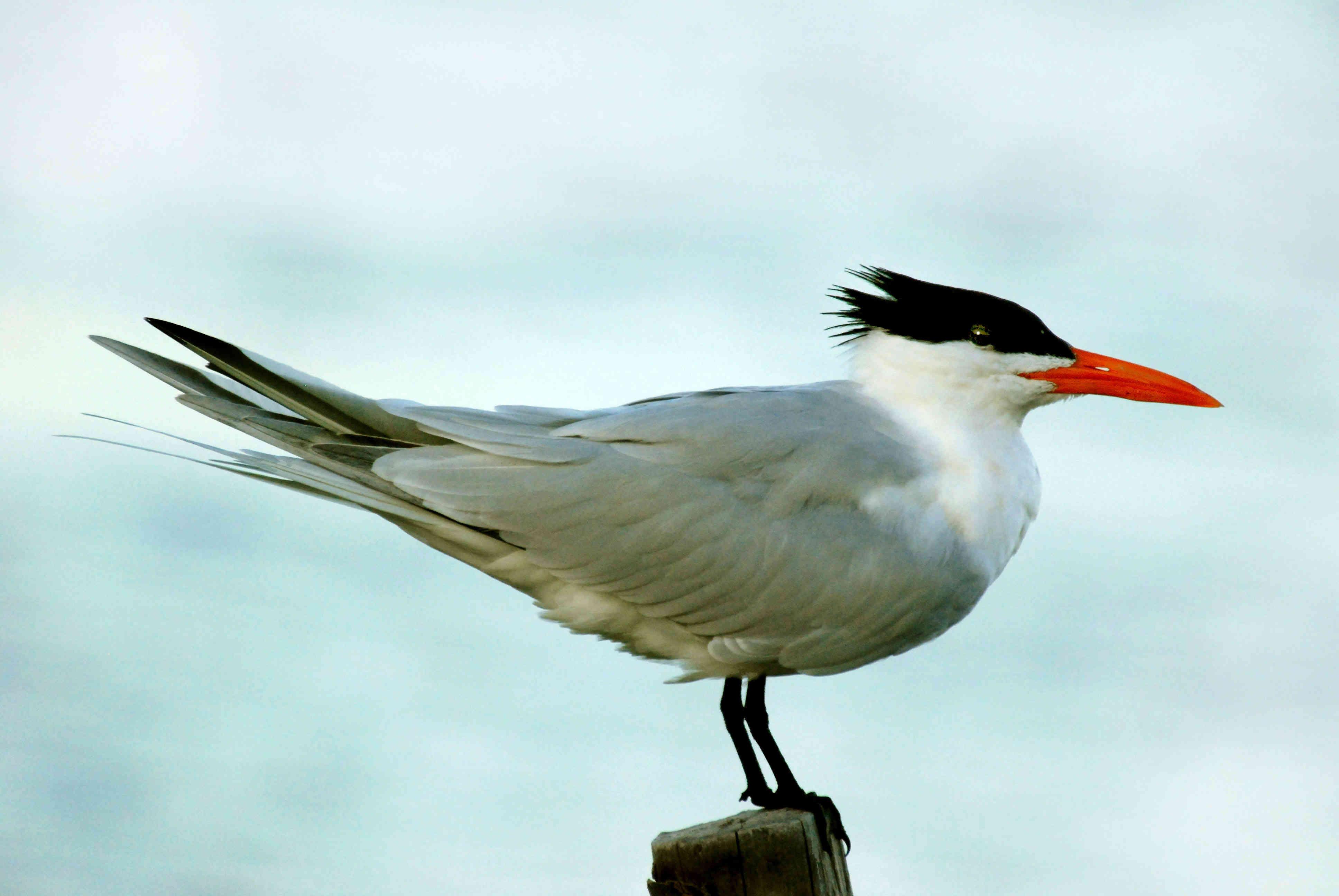 Royal Tern on Ambergris Caye - Ambergris Caye Belize Message Board