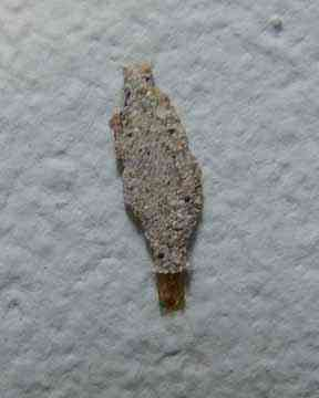 mystery bug - Ambergris Caye Belize Message Board