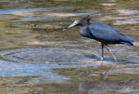 Little_Blue_heron_on_Ambergris_Caye.jpg