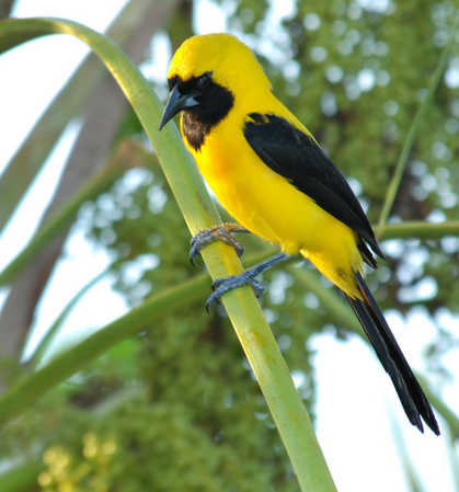 Yellow-backed Oriole.jpg