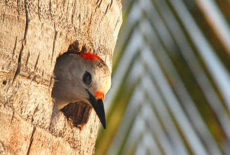 mama yucatan woodpecker copy.jpg