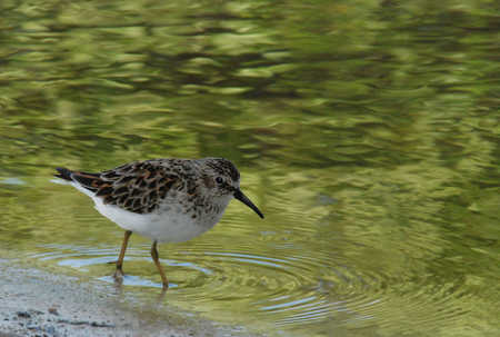 little Sandpiper reduced file.jpg