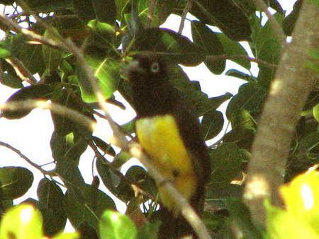 yellowbellied bird.JPG