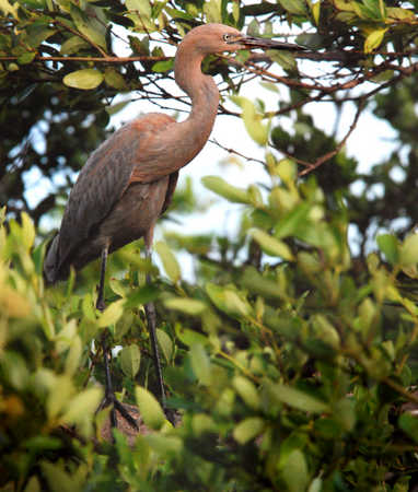 _Reddish_Egret_on_Rosaro_Caye_Belize.jpg