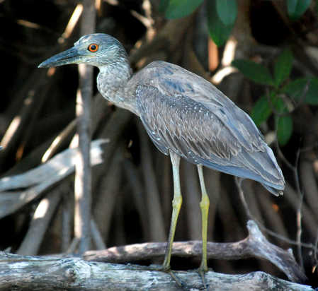 Young_Night_Heron_Ambergris_Caye_Belize.jpg