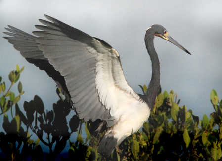 wings heron copy.jpg