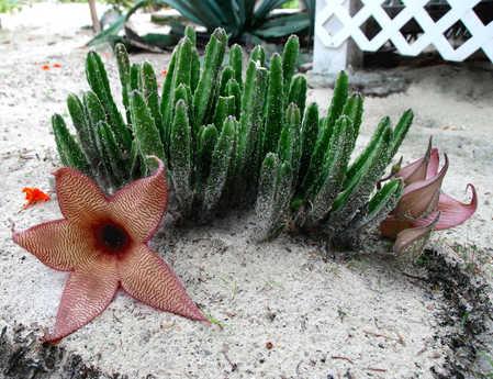 finger cactus.jpg