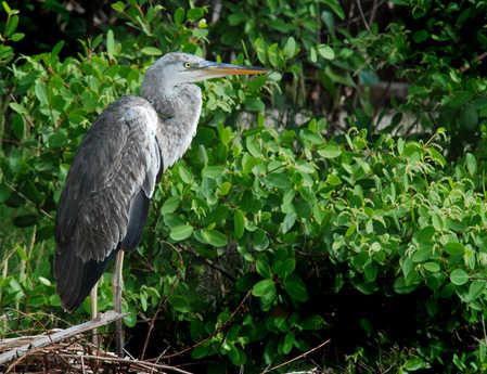 WSC lagoon Heron copy.jpg
