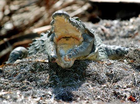 croc WSC Lagoon copy.jpg