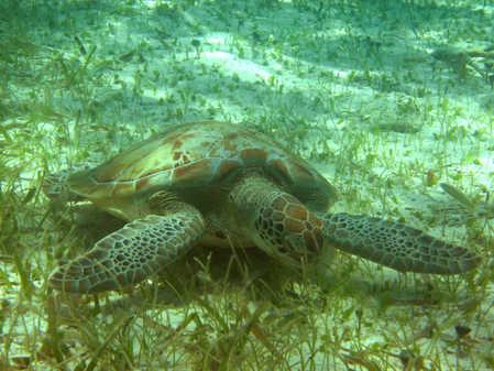 turtle eating turtle grass copy.jpg