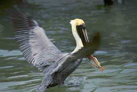 760_pelican in flight.jpg