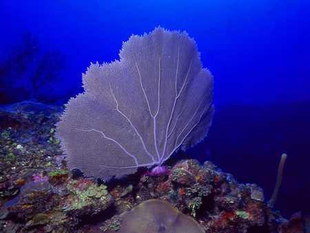 Intact_sea_fan_offshore_San_Pedro_Town,_Belize..jpg