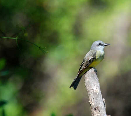 Tropical Kingbird in Bomba village Belize copy.jpg