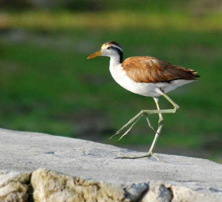 Juvenile Northern jacana in Orange Walk Belize copy.jpg