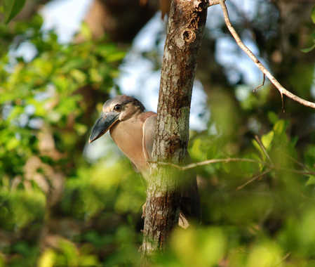 Boat-Billed Heron at Indian Church Village Belize copy.jpg