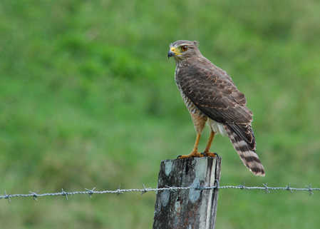 roadside hawk.jpg