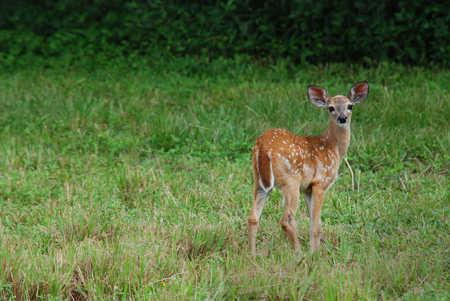 Belize Bambi.jpg