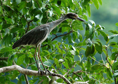 Young Night Heron ajusted size.jpg