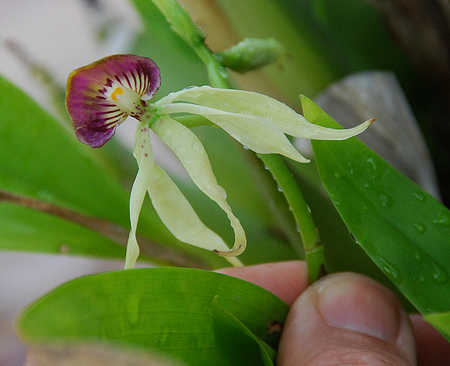Black Orchid (Encyclia Cochleatum) in Belize.jpg