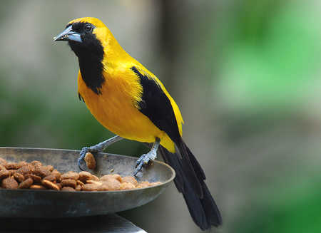 Oriole Belize copy.jpg