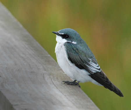 ajusted size mangrove swallow.jpg