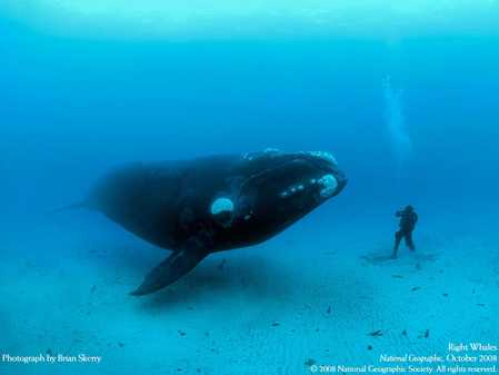 Right_Whales.jpg