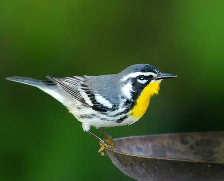 yellow throated warbler Belize copy ajusted size.jpg