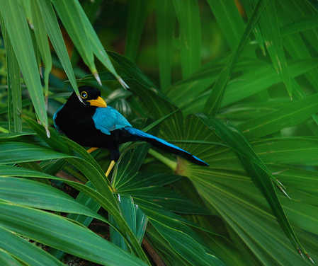 Yucatan Jay Cyanocorax yucatanicus in Belize on Ambergris Caye.jpg
