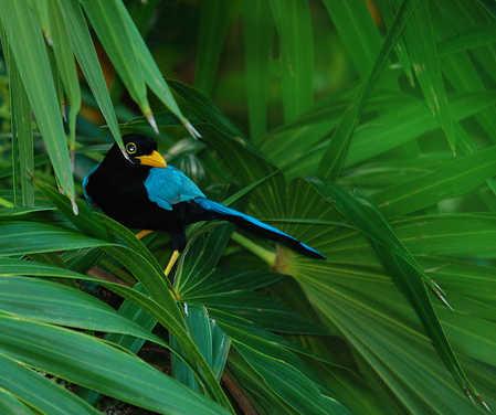 Yucatan Jay Cyanocorax yucatanicus in Belize on Ambergris Caye.jpg