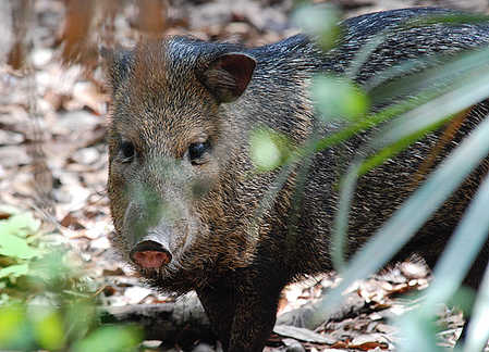 Wild_pig_on_Ambergris_caye_Belize..jpg