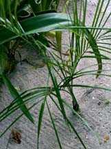 baby palm 1 x.jpg