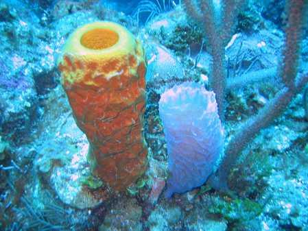 Yellow_Tube_Sponge_&_Azure_Vase_Sponge.jpg