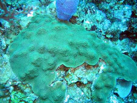 Green Encrusting Coral.jpg