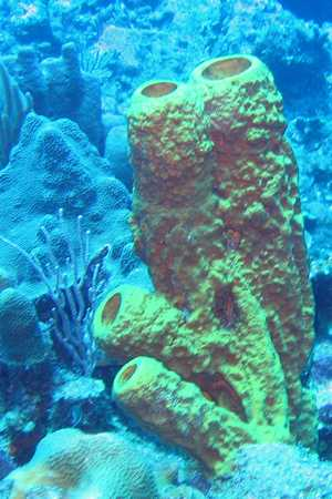 Cluster of Yellow Tube Sponges