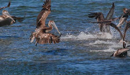 Brown_Pelican_eating_sardines_at_Journeys_End..jpg