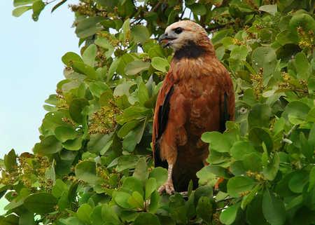 Black-Collard Hawk.jpg