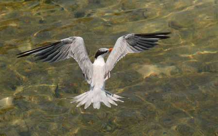 Royal-Tern.jpg