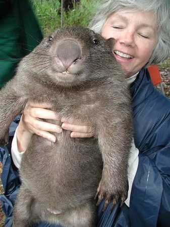 Grown wombat