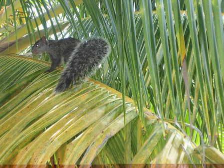 Yucatan_squirrel_on_Ambergris_Caye.jpg