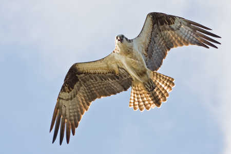 Osprey_-_Ambergis_Caye.jpg
