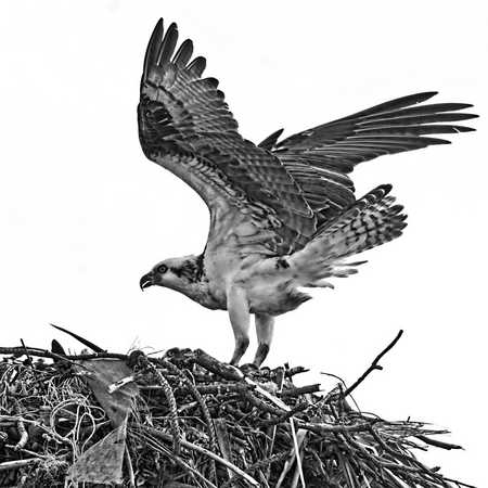 Osprey on Nest 2.jpg