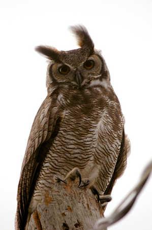 Great Horned Owl 1 x.jpg