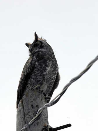 Great Horned Owl 4 x.jpg